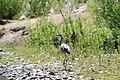 Garza Morena -Ardea herodias- Great Blue Heron - panoramio.jpg