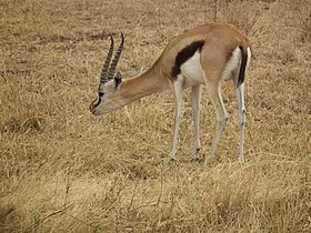 Gazella thomsonii Thomsons Gazelle in Tanzania 3135 Nevit.jpg