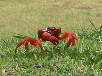 Red Crab on Christmas Island, Australia. Taken...