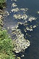 Geeste - Ems + Schwimmendes Laichkraut (Niedersachsenbrücke) 01 ies.jpg