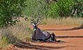 Gemsbock (Oryx gazella) (6619057897).jpg