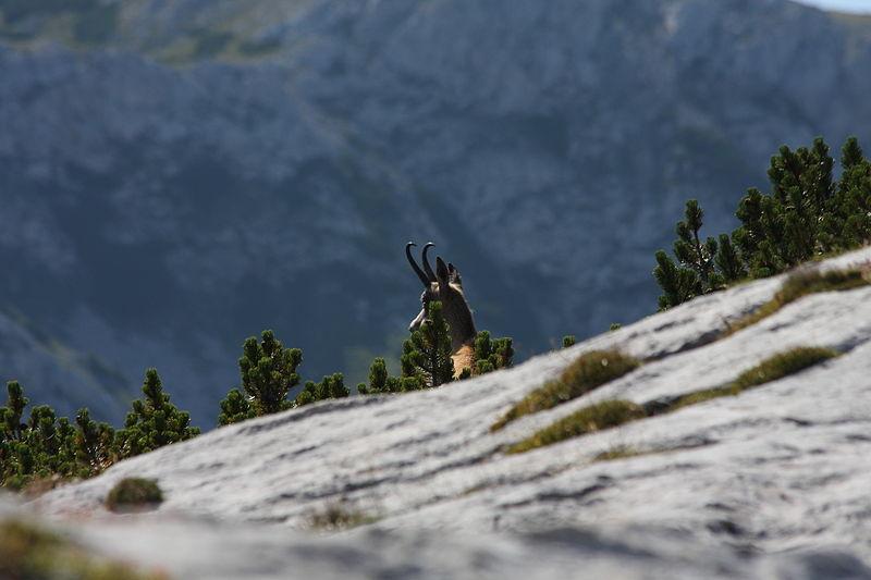 File:Gemse niedere tauern0013.JPG