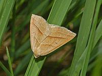 Geometridae - Petrophora chlorosata.JPG