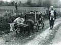 Gheg man with an oxen-drawn cart (Carleton Coon, 1929).jpg