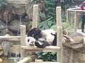 Giant Panda Conservation Centre in Zoo Negara Malaysia 2021 (17).jpg