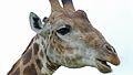 Giraffe (Giraffa camelopardalis) (6017297718).jpg