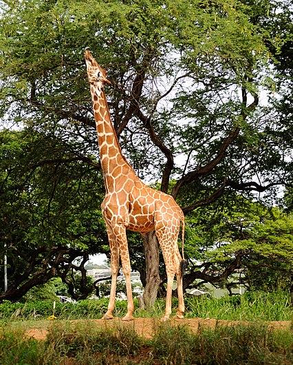 Giraffe stretching for leaves. (5213908154).jpg