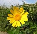Glebionis segetum inflorescence (21).jpg