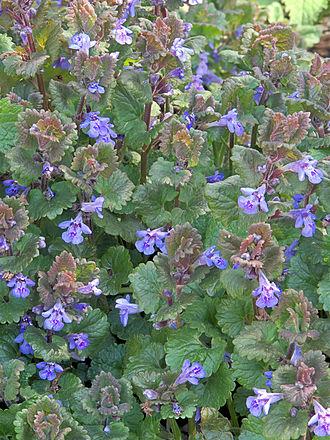 Glechoma hederacea - Image: Glechoma hederacea, Hondsdraf (1)