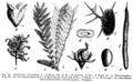 Gleditsia triacanthos Taub92.png