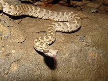 щитомордник змея фото