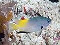 Goldback damsel (Pomacentrus nigromanus) (39851325873).jpg