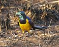 Golden-breasted starling (Lamprotornis regius) - Flickr - Lip Kee (1).jpg