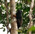 Golden-handed Tamarin (Saguinus midas) (27594195309).jpg