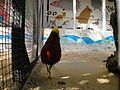 Golden Pheasant at Shanklin Chine.JPG