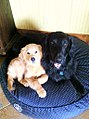 Golden Retriever & Flat Coat Retriever.jpg
