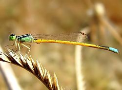 Golden dartlet male.jpg