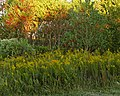 Goldenrod on the Way to Work (5126742087).jpg