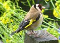 Goldfinch, Dunedin, New Zealand.jpg
