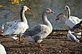 Gooses and gulls at Angerenstein-Bosweg park Arnhem - panoramio.jpg