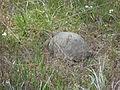 Gopher Tortoise 04, Reed Bingham State Park.JPG