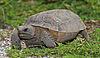 Gopherus polyphemus Tomfriedel.jpg