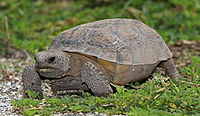 An abraded tortoise walking on sandy ground.