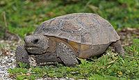 Una tortuga desgastada caminando sobre suelo arenoso.