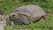 gopher tortoise eye-level view