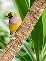 Gouldian Finch (Gökkuşağı İspinozu - TR) (15387697388).jpg