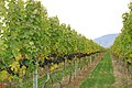 Grapes - panoramio - Jack Borno.jpg