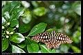 Graphium agamemnon (7350977810).jpg