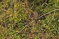 Gray-faced Buzzard - Kaeng-Krachan - Thailand H8O6149 (15478550702).jpg