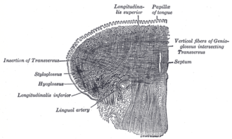 Inferior longitudinal muscle of tongue - Coronal section of tongue, showing intrinsic muscles.