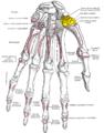 Gray219 - Trapezium bone.png