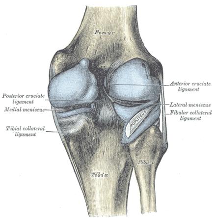 Kniegelenk - Wikiwand