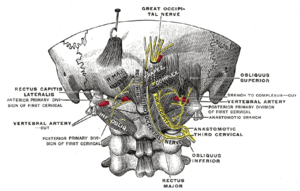 Greater occipital nerve - Posterior primary divisions of the upper three cervical nerves. (Great occipital nerve labeled at center top.)