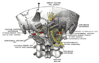 Posterior branches of cervical nerves - Posterior primary divisions of the upper three cervical nerves.