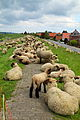 Grazing sheep on levee in Grünendeich, 1.jpg