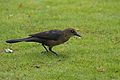 Great-tailed Grackle.jpg