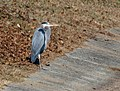Great Blue Heron VB 1.jpg