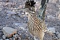 Greater Roadrunner - Flickr - GregTheBusker (1).jpg