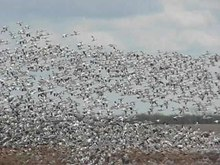 File:Greater Snow Geese.ogv