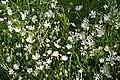 Greater Stitchwort (Stellaria holostea) - geograph.org.uk - 1396218.jpg