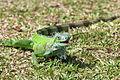 Green-iguana-iguana.jpg