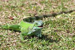 244px Green iguana iguana - �guana hakk�nda,�guana resimleri �guanalar