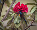 Green-tailed Sunbird.jpg