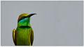 Green Bee-eater (Merops orientalis) by Dharani Prakash.jpg