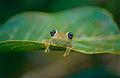 Green Bright-eyed Frog (Boophis viridis) (10314151375).jpg