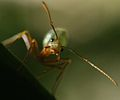 Green Tree Ant on leaf.JPG
